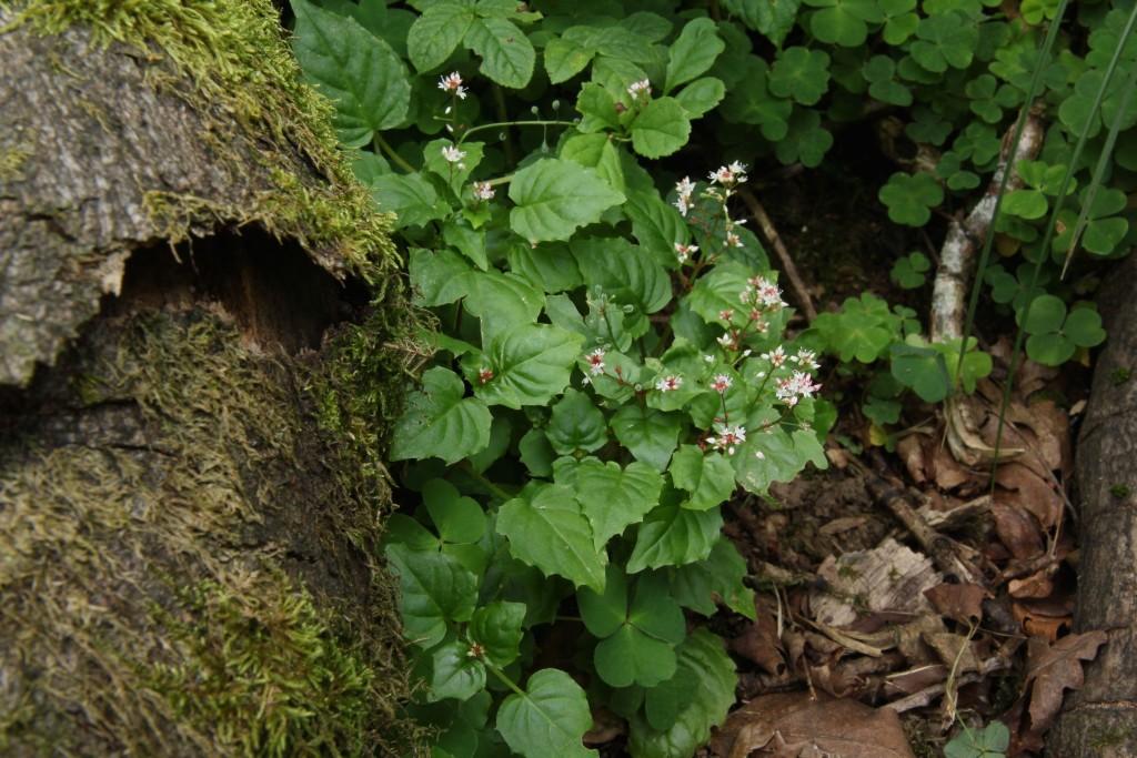 Alpine Enchanters-nightshade, Circaea alpina