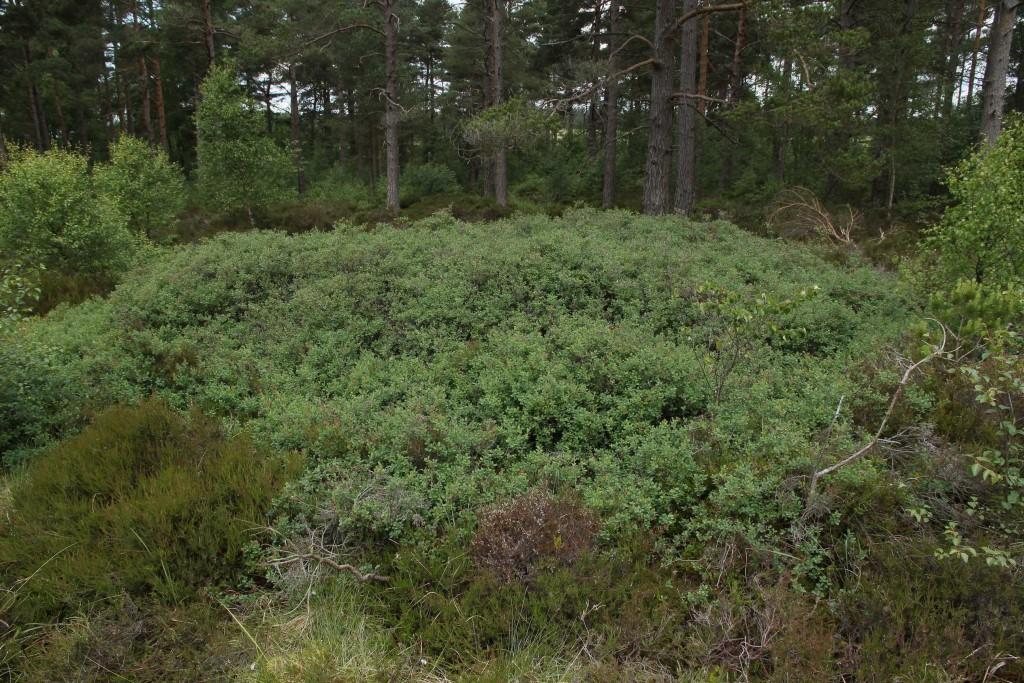 Bog Bilberry, Vaccinium uliginosum (valley mire)