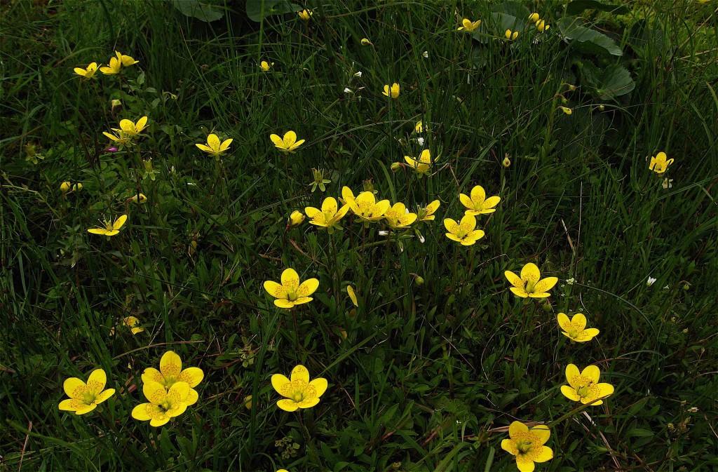 Marsh Saxifrage, Saxifraga hirculus