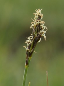 False-sedge, Kobresia simpliciuscula
