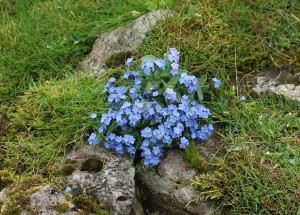 30 Alpine Forget-me-not