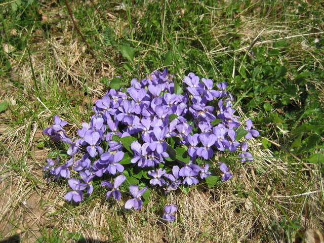 Hybrid violet, Viola × intersita