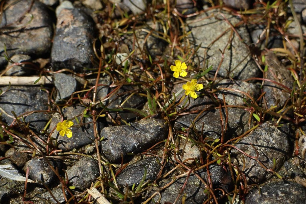 Creeping Spearwort, Ranunculus reptans