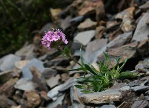 Alpine Catchfly, Silene alpina