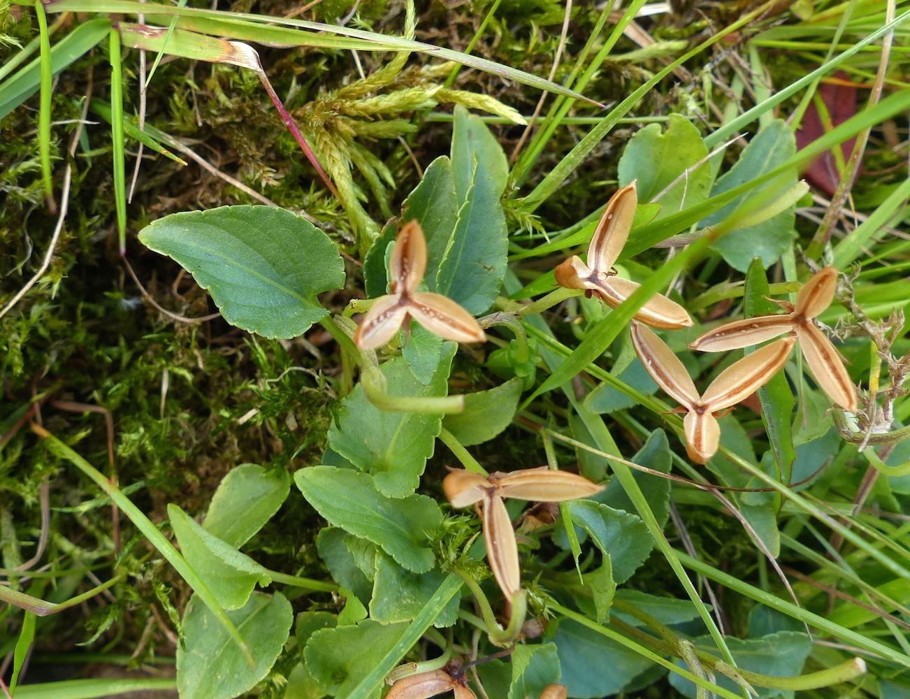 P1290614 Viola canina