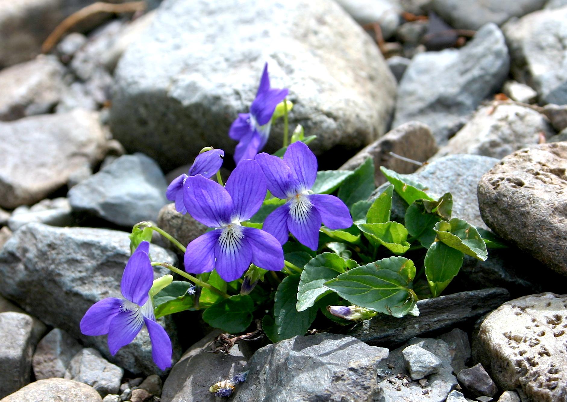 Viola canina 1