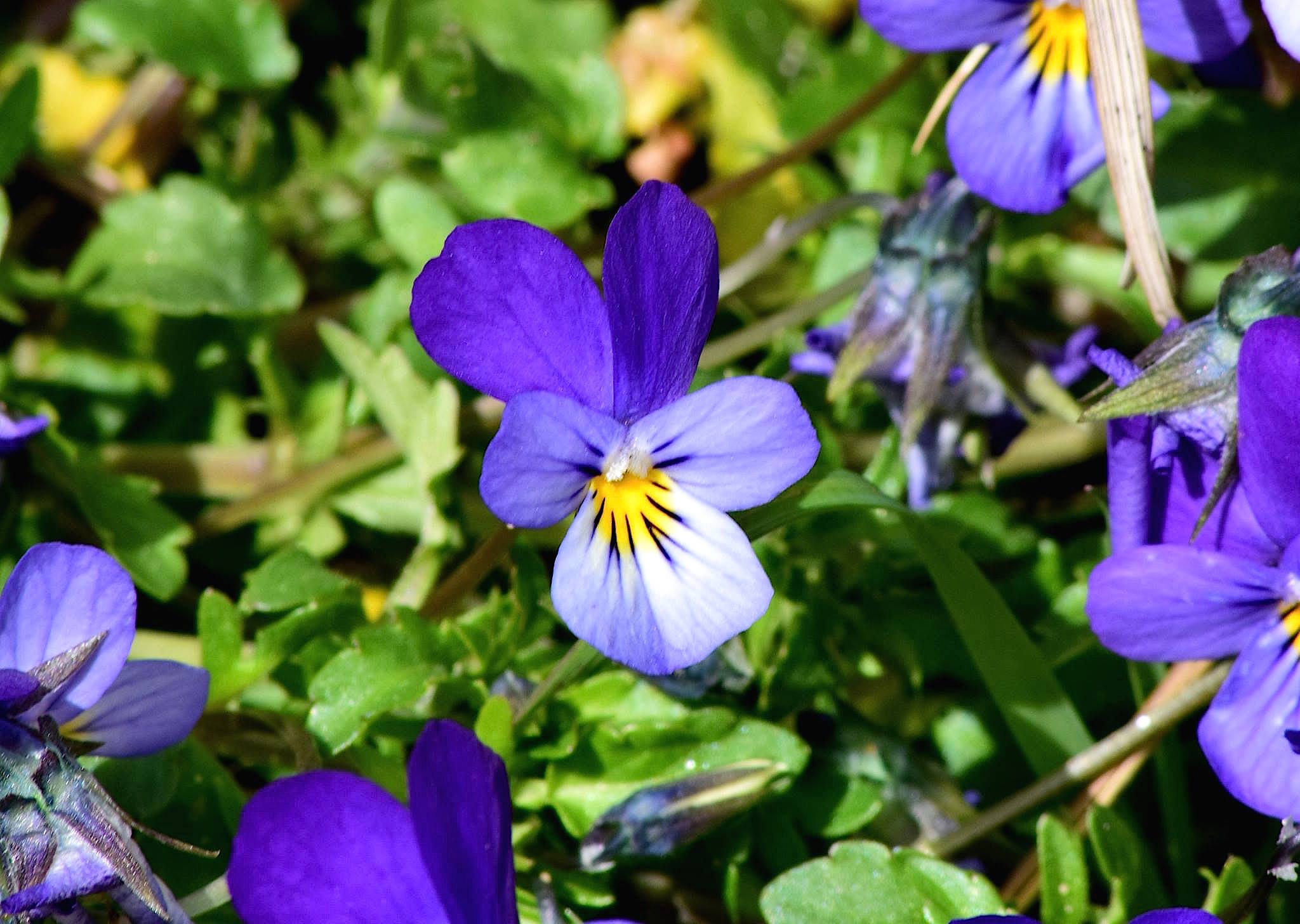 Viola curtisii