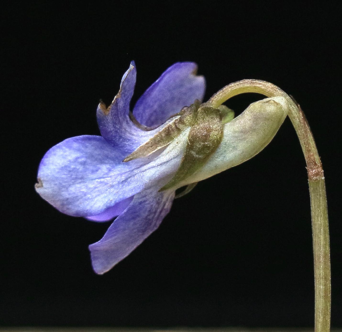 Viola riv spur
