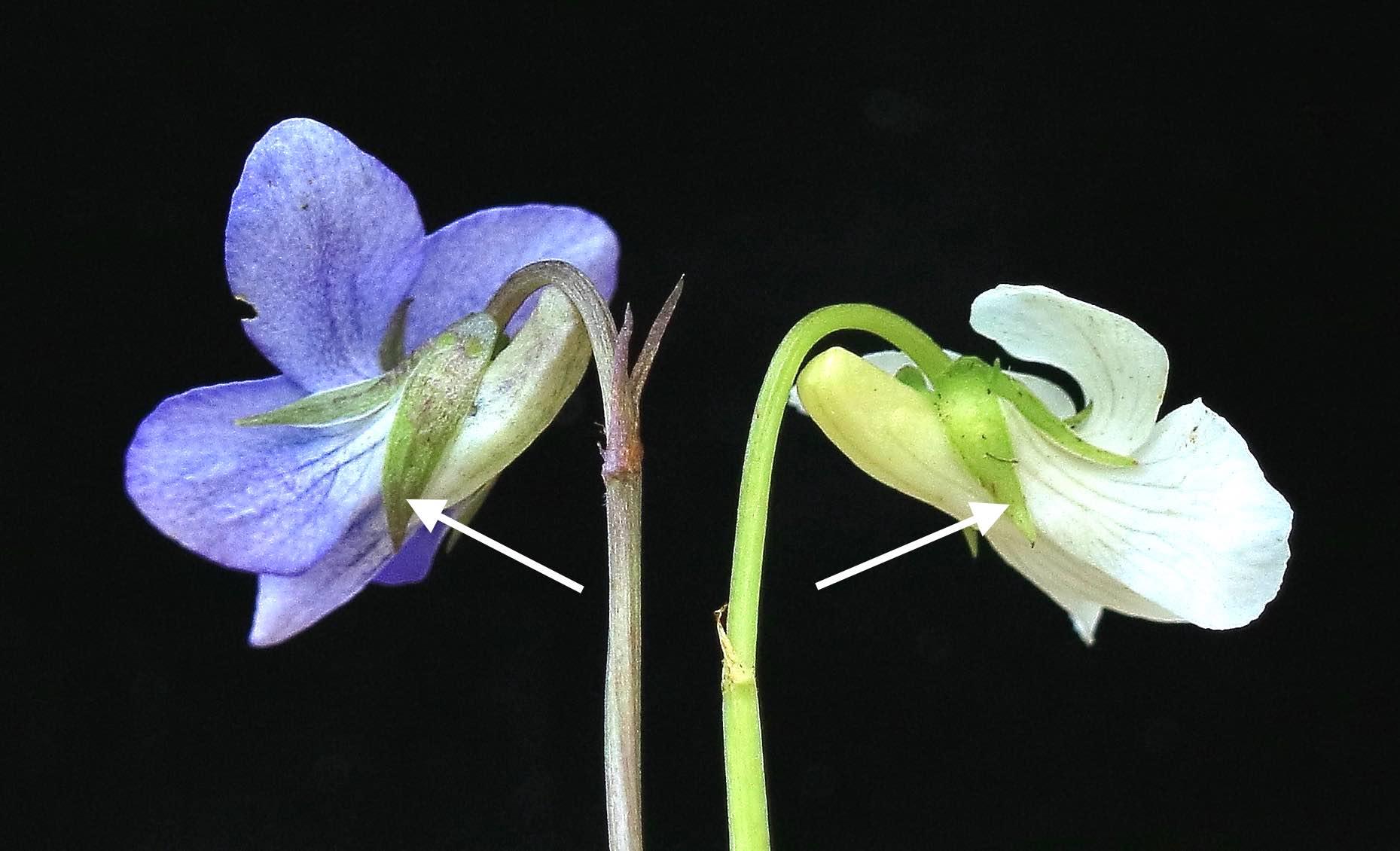 Viola sepals copy