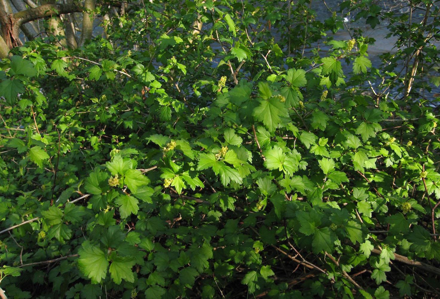 alpinum bush