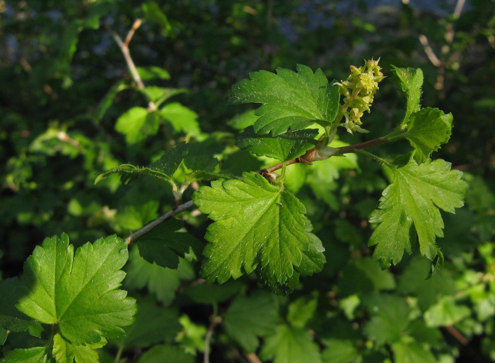 alpinum stem a