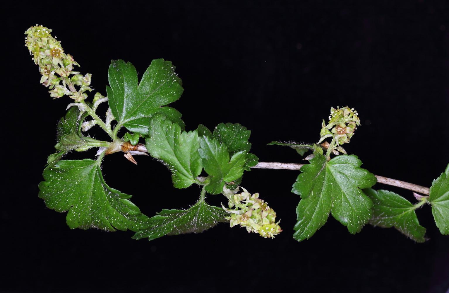 alpinum stem