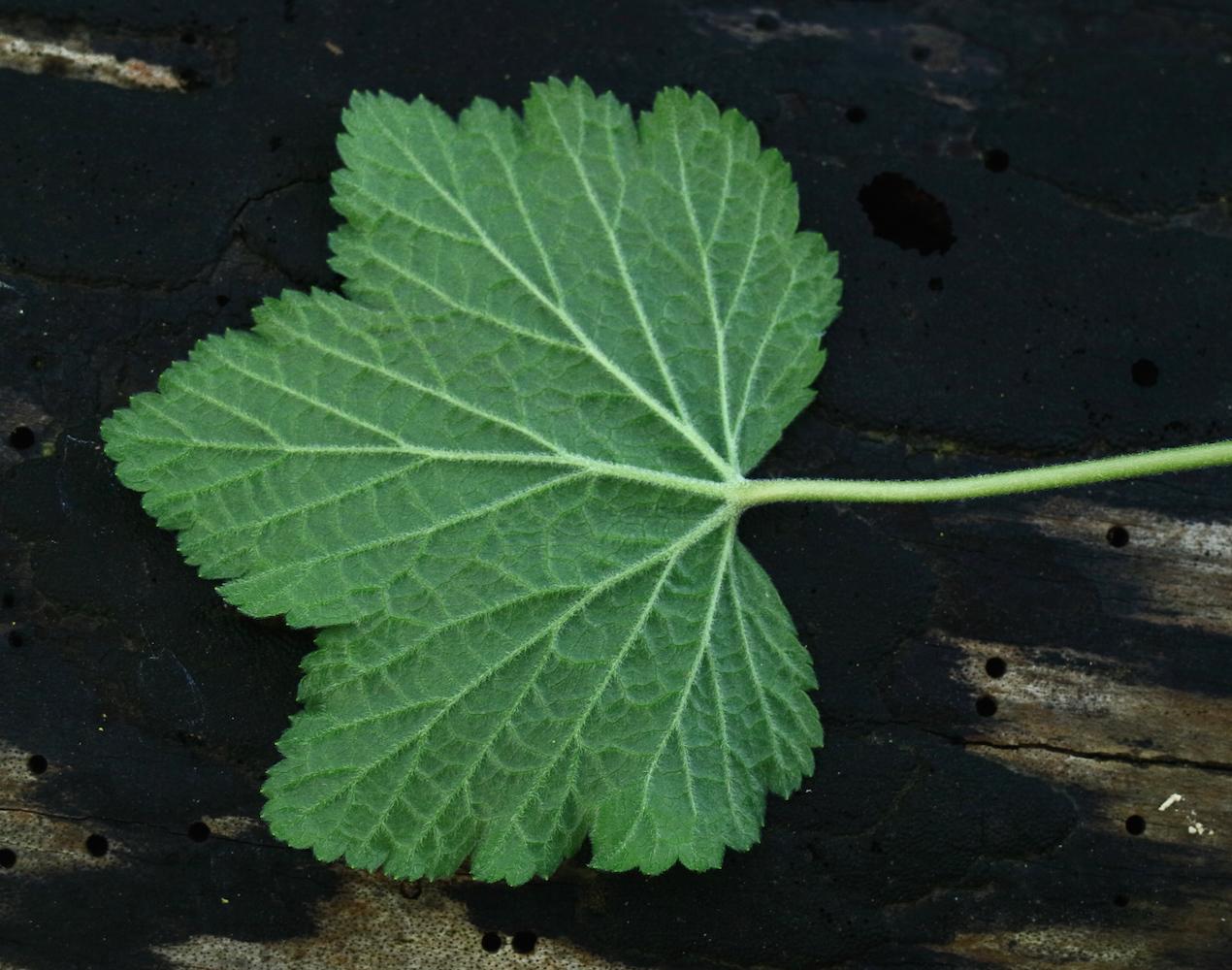 spicatum leaf