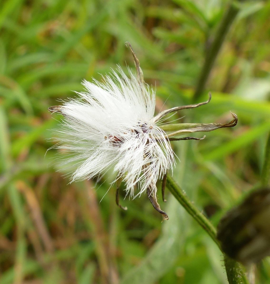 P1240714 Crepis mollis