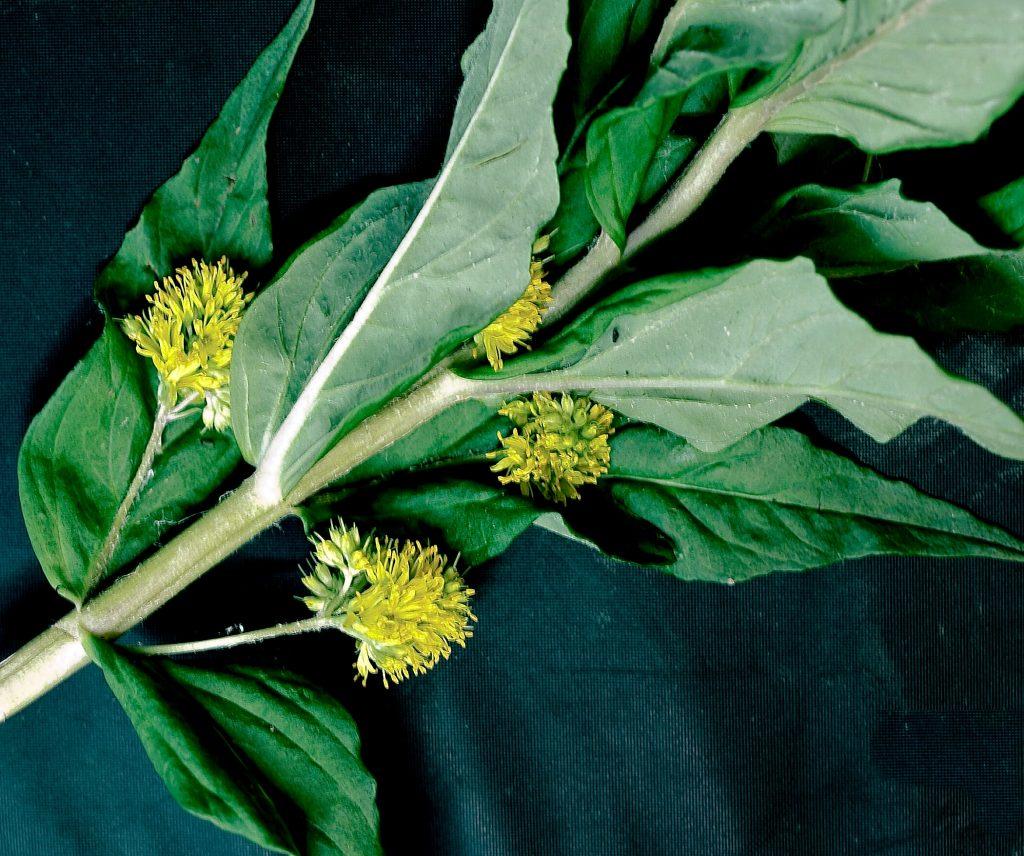 Tufted Loosestrife Lysimachia thyrsiflora